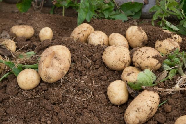 株式会社ジャストライト浪岡 智がお送りする日本農業新聞の「ジャガイモに関する」記事についてのイメージ画像